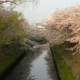 海老川の桜